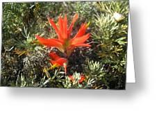 Indian Paintbrush And California Sage Greeting Card