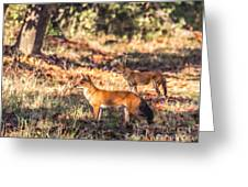 Indian Wild Dogs Dholes Kanha National Park India Greeting Card