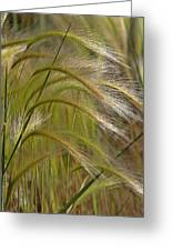 Indiangrass Swaying Softly With The Wind Greeting Card