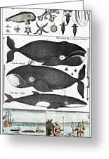 Indigenous Fish, Greenland, 18th Century Greeting Card