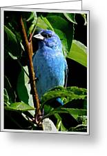 Indigo Bunting 1f, Ny, 18 Greeting Card