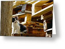 Inquisitive Kitten On The Greek Island Of Mykonos Greeting Card