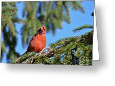 Inquisitive Male Cardinal Greeting Card