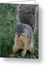 Inquisitive Squirrel Greeting Card