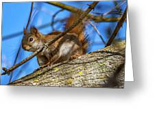 Inquisitive Squirrel Greeting Card