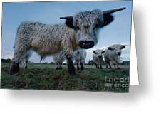 Inquisitive White High Park Cow Greeting Card