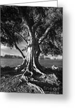 Intercoastal Pine Greeting Card