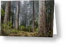 Into The Redwood Forest Greeting Card