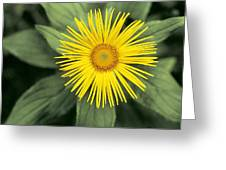 Inula Grandiflora Greeting Card