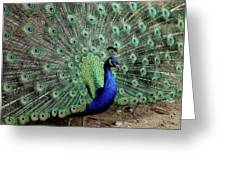 Iridescent Blue-green Peacock Greeting Card