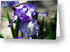 Iris Dressed For Royalty Greeting Card