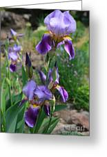 Iris Garden Greeting Card