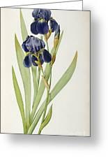 Iris Germanica Greeting Card