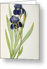 Iris Germanica Greeting Card by Pierre Joseph Redoute