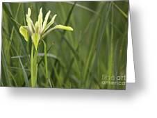 Iris Palaestina Greeting Card