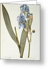 Iris Pallida Greeting Card by Pierre Joseph Redoute