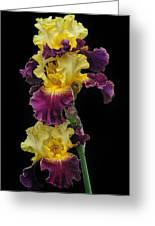 Iris Triple Greeting Card