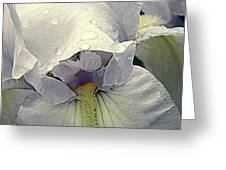 Iris With A Bonnet Series 7 Greeting Card