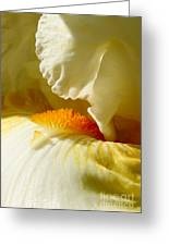 Iris With Touch Of Orange Greeting Card