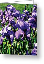 Irises Princess Royal Smith Greeting Card