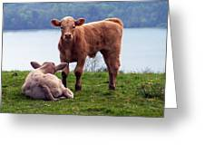 Irish Calves At Lough Eske Greeting Card