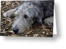 Irish Wolfhound Ivan Greeting Card
