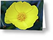 Island Bush Poppy In Rancho Santa Ana Botanic Garden In Claremont-california  Greeting Card