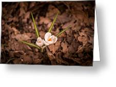 Isolated Crocus Greeting Card
