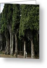 Italian Cypress Trees Line A Road Greeting Card