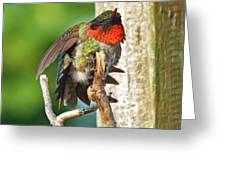 I've Got An Itch - Ruby-throated Hummingbird Greeting Card