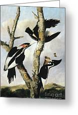 Ivory-billed Woodpeckers Greeting Card