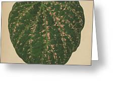 Ivy Leaf, Cissus Porphyrophyllus  Greeting Card