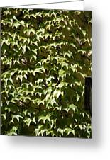 Ivy Sunlight Greeting Card