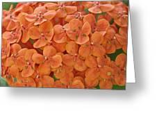 Ixora Moriwaki Greeting Card