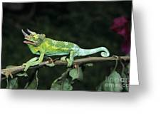 Jacksons Chameleon On Branch Greeting Card by Dave Fleetham - Printscapes