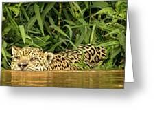 Jaguar Approaches Cayman Greeting Card