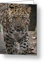 Jaguar On The Prowl Greeting Card