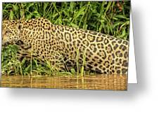 Jaguar Prowls The River's Edge Greeting Card