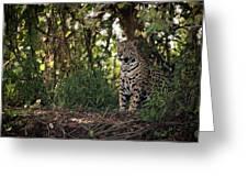 Jaguar Sitting In Trees In Dappled Sunlight Greeting Card