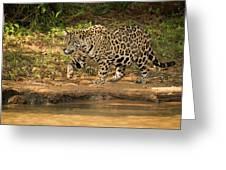 Jaguar Walking Beside River In Dappled Sunlight Greeting Card