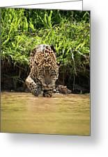 Jaguar Walking Through Muddy Shallows Towards Camera Greeting Card