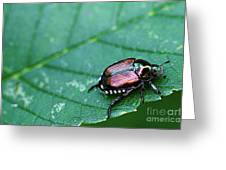 Japanese Beetle Greeting Card