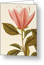Japanese Bigleaf Magnolia Greeting Card