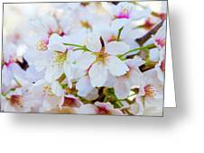 Japanese Cherry Tree Blossoms 2 Greeting Card