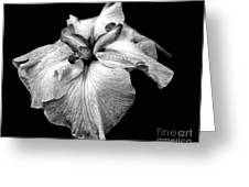 Japanese Iris In Black And White Greeting Card