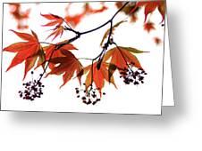 Japanese Maple 2011-2 Greeting Card