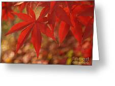 Japanese Maple In Afternoon Greeting Card