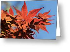 Japanese Maple In Sunlight Greeting Card