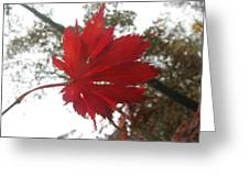Japanese Maple Leaf 2 Greeting Card