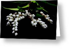 Japanese Pieris 2011-3 Greeting Card